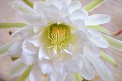 Ферзь цветка кактуса ночи Стоковое фото RF