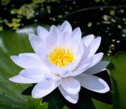 Ферзь цветков Стоковое фото RF
