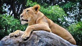 Ферзь льва стоковое фото
