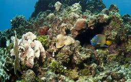 ферзь angelfish Стоковое Изображение RF