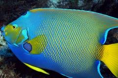 ферзь angelfish Стоковая Фотография
