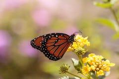 ферзь gilippus danaus бабочки Стоковая Фотография RF