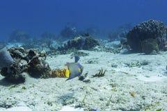 ферзь holacanthus ciliaris angelfish латинский названный Стоковые Фото