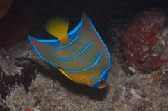 ферзь juvenile holocanthus ciliaris angelfish Стоковое фото RF