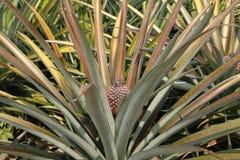 Ферма ананаса Стоковое Изображение RF