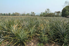 Ферма ананаса Стоковое Изображение
