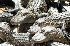 Ферма аллигатора Стоковые Фотографии RF