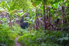 Ферма банановых дерев Стоковое Изображение
