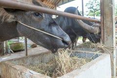 Ферма буйвола на Suphanburi, Таиланде августе 2017 Стоковое Изображение RF