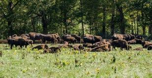 Ферма буйвола Стоковая Фотография