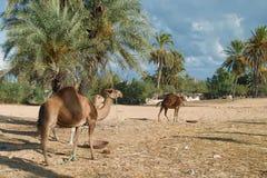 Ферма верблюда на Джербе Стоковое Изображение RF