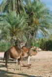 Ферма верблюда на Джербе Стоковое Изображение