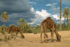 Ферма верблюда на Джербе Стоковое фото RF