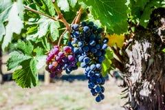 Ферма винодельни Стоковые Фотографии RF