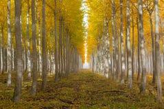 Ферма дерева тополя в Boardman Орегоне на утре США падения Стоковое Фото