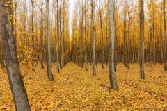 Ферма дерева тополя в Орегоне Стоковые Фотографии RF