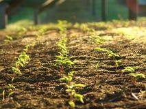 Ферма женьшени с защитной тенью стоковые фото