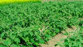 Ферма завода яичка в индийском земледелии Взгляд со стороны Стоковое Фото