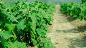 Ферма завода яичка в индийском земледелии линия взгляд Стоковая Фотография