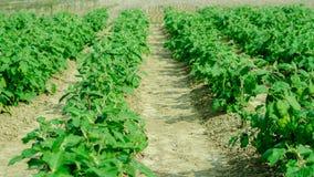 Ферма завода яичка в индийском земледелии Стоковые Фотографии RF