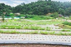 Ферма земледелия поля клубники на горе Стоковая Фотография