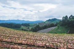 Ферма земледелия поля клубники на горе Стоковые Изображения RF