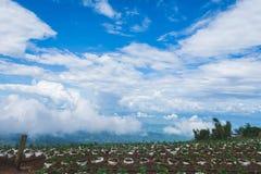 Ферма земледелия поля клубники на горе, chiangmai, Tha Стоковые Фотографии RF
