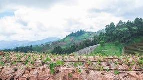 Ферма земледелия поля клубники на горе, chiangmai, Tha Стоковое Изображение RF