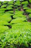 Ферма зеленого чая Стоковые Фотографии RF