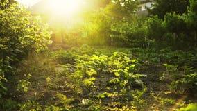 Ферма или сад Eco в свете захода солнца Сбор лета, пирофакел объектива сток-видео