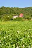 Ферма лилии имбиря Стоковое Изображение
