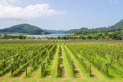 Ферма и сад виноградины на близко озере и горе во дне яркое небо и популярное туристское назначение Паттайя стоковая фотография rf
