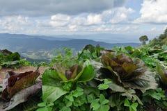 Ферма капусты вверху гора варенья понедельника в Chiangmai, Thaila Стоковая Фотография RF