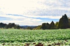 Ферма капусты в Японии Кагошиме Стоковые Фотографии RF