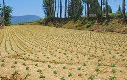 Ферма капусты гористой местности Стоковое Изображение RF