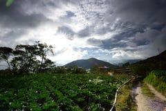 Ферма капусты на гористых местностях Камерона Стоковые Изображения RF