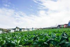 Ферма капусты на холме в Phetchabun Таиланда Стоковая Фотография RF