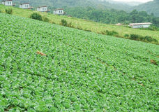 Ферма капусты на холме Стоковое Изображение RF