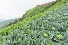 Ферма капусты на mountaion Стоковая Фотография