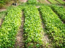 Ферма капусты органическая Стоковые Изображения