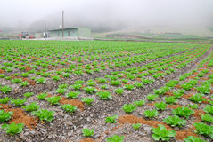 ферма капусты органически Стоковая Фотография