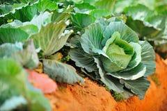 Ферма капусты, Таиланд Стоковое Изображение RF