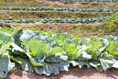 ферма капусты Стоковое Изображение RF