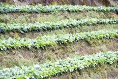 ферма капусты Стоковое Изображение