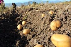 Ферма картошки в поле Стоковое Изображение