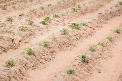 Ферма кассавы Стоковое Изображение RF