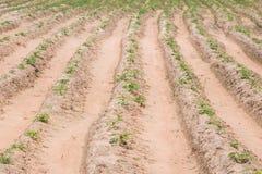 Ферма кассавы Стоковые Изображения