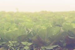 Ферма китайской капусты Стоковые Фотографии RF