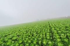 Ферма китайской капусты Стоковая Фотография RF
