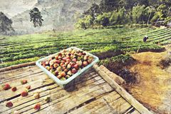 Ферма клубники на angkhang Doi, Чиангмае, Таиланде цифрово стоковые изображения rf